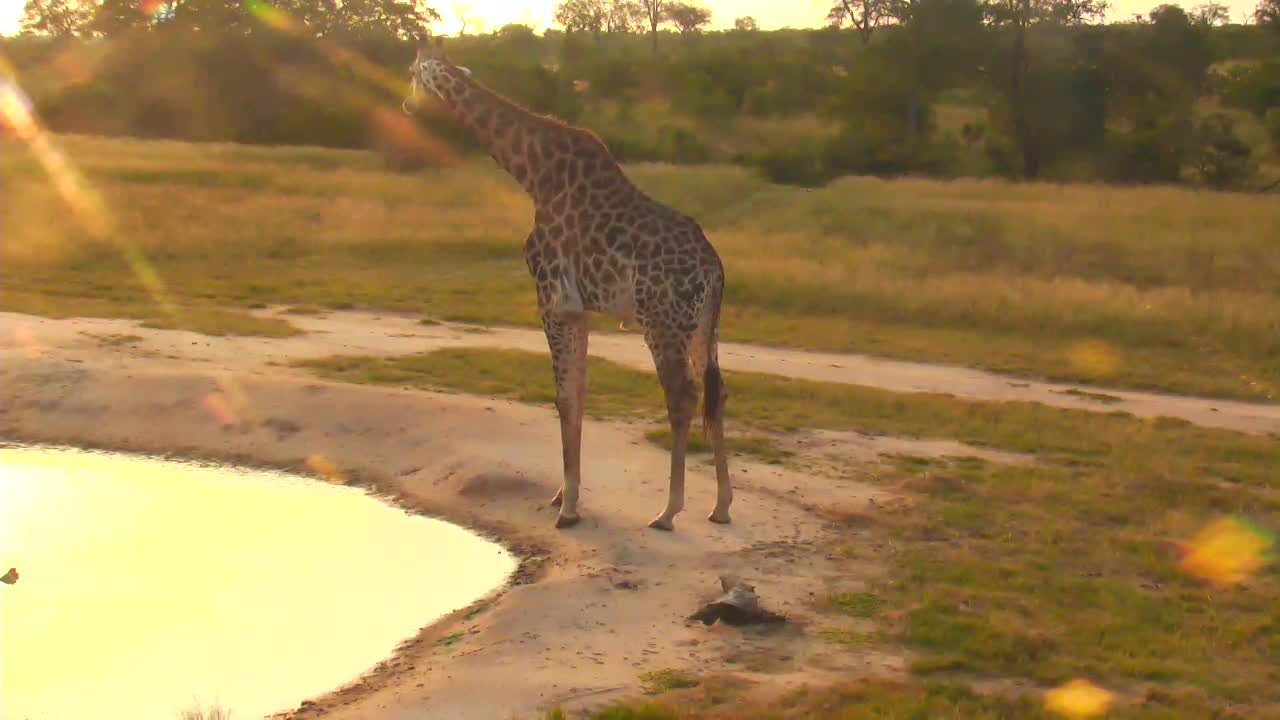 VIDEO: Giraffe drinking at Waterhole, and eating at tree