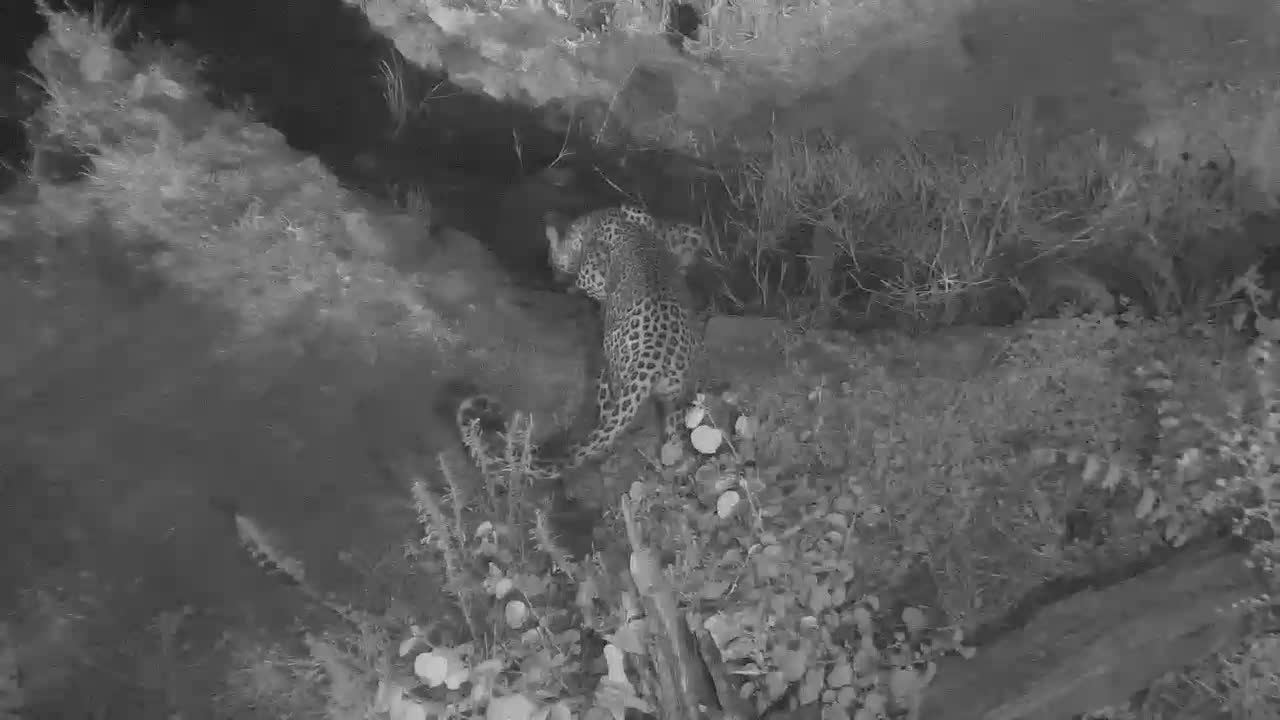 VIDEO:  LEOPARD looking around the waterhole before having a drink