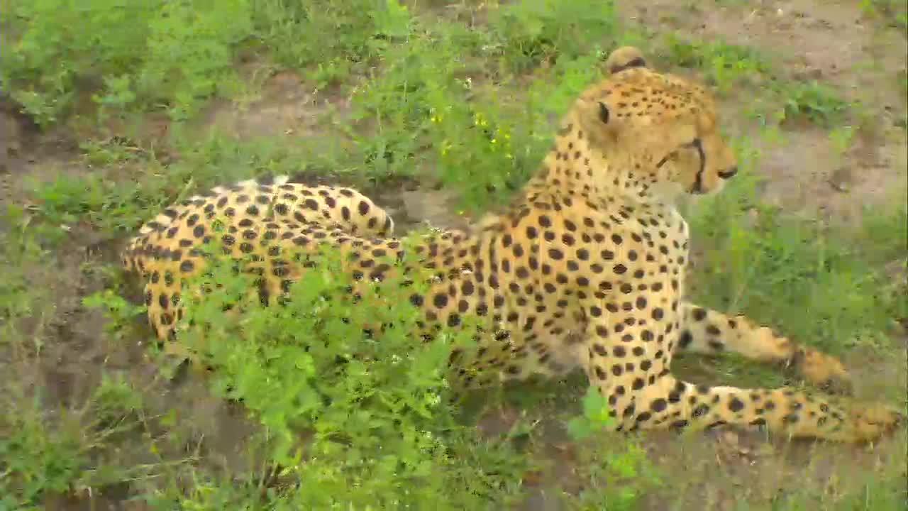 VIDEO:Cheetah takes a break under the cam PT 1