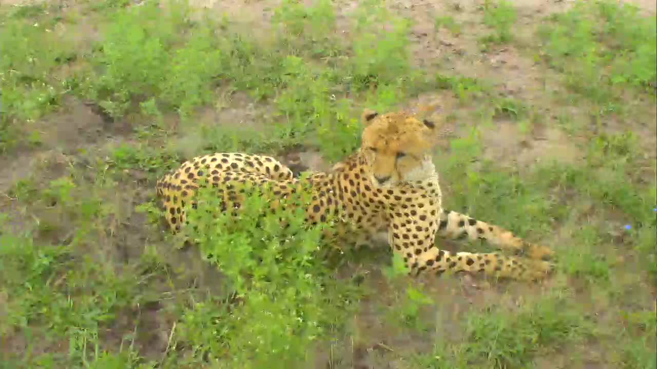 VIDEO:Cheetah takes a break under the cam PT 2