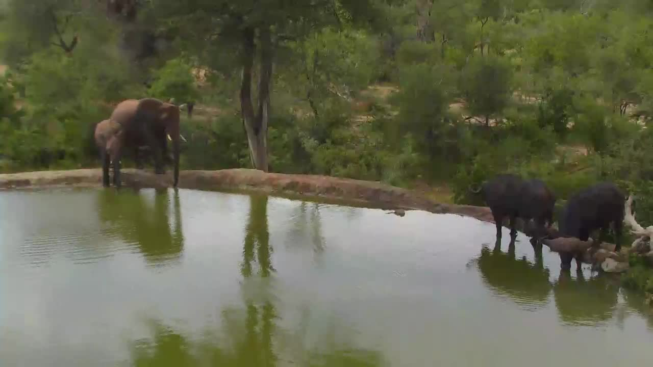 VIDEO:Elephants and Cape Buffalo together at waterhole Naledi