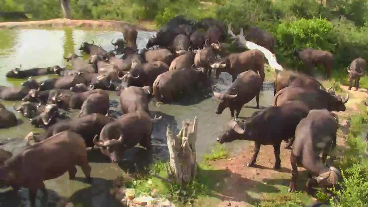 VIDEO:Huge Herd Cape Buffalo at Naledi