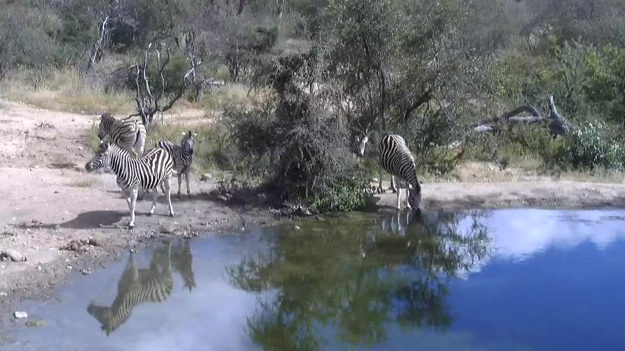 VIDEO: Zebras  having a drink at the waterhole.