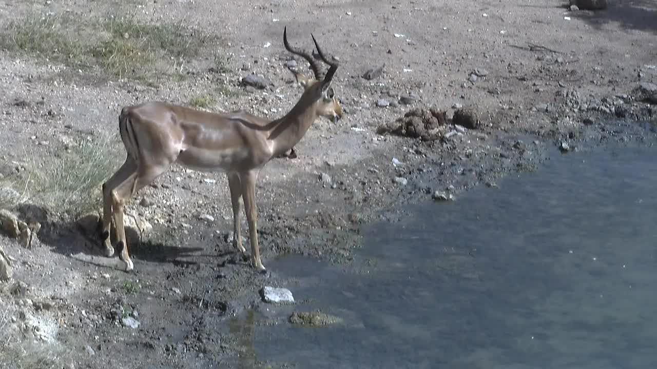 VIDEO: Impala and Laughing Doves having  a  drink.