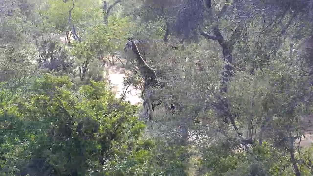 VIDEO:  Giraffe slowly making its way to the waterhole.