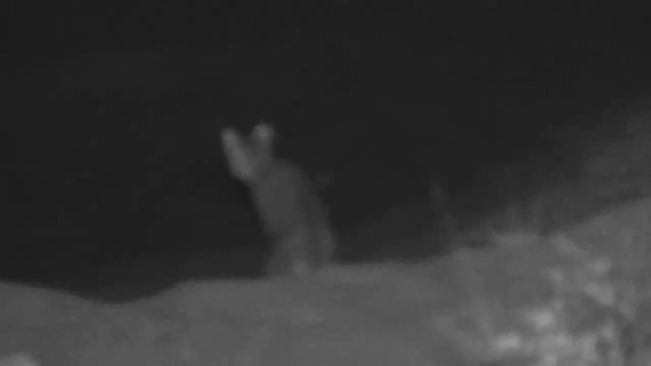VIDEO: African Wildcat - very alert - came for a short drink to the waterhole