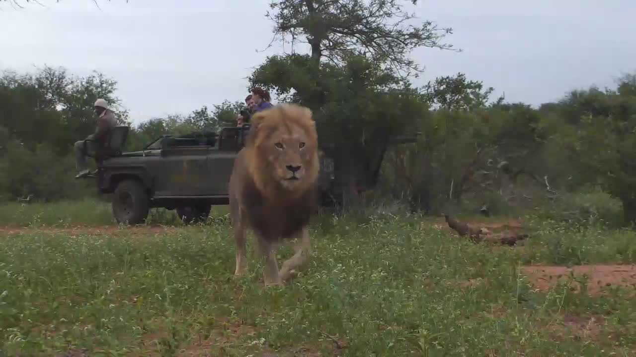 VIDEO: Amazing Lion Sighting At Cat-EYE