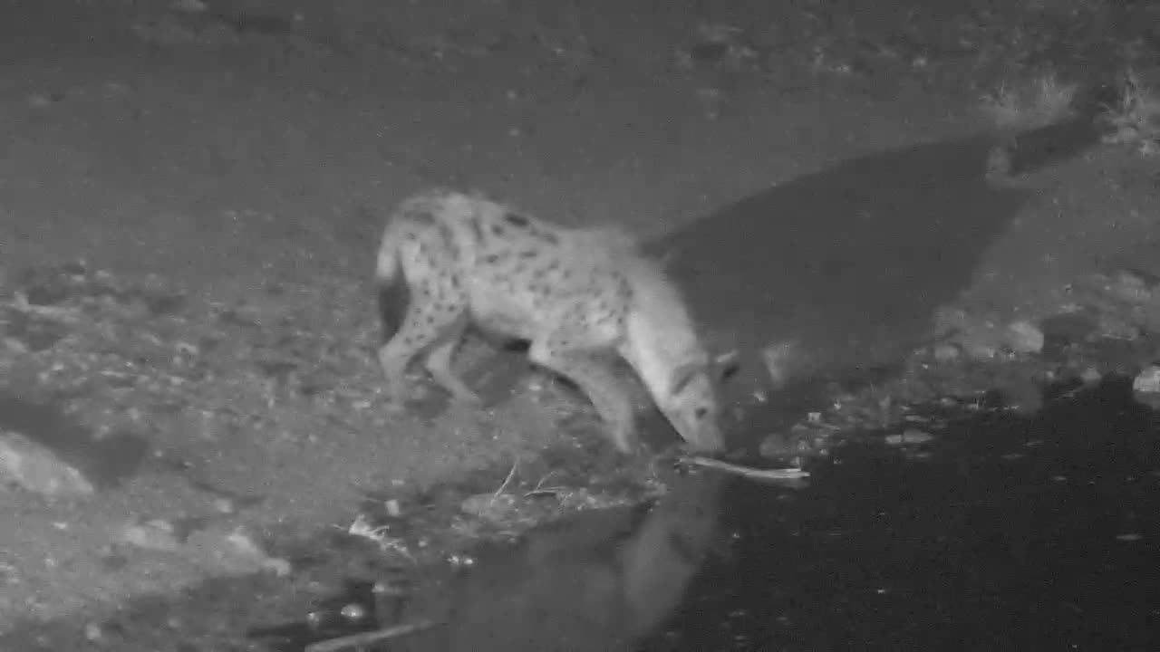 VIDEO:  HYAENA back for more to drink