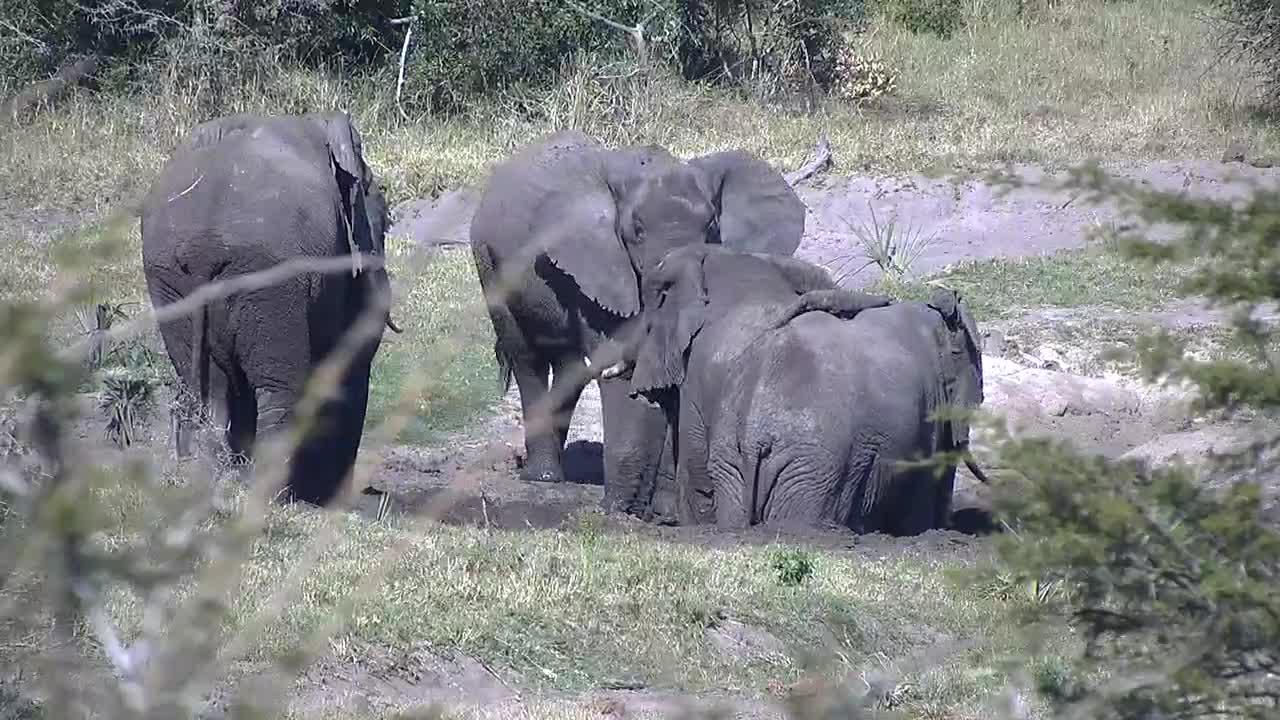 VIDEO: Elephants  enjoy the little mud pool