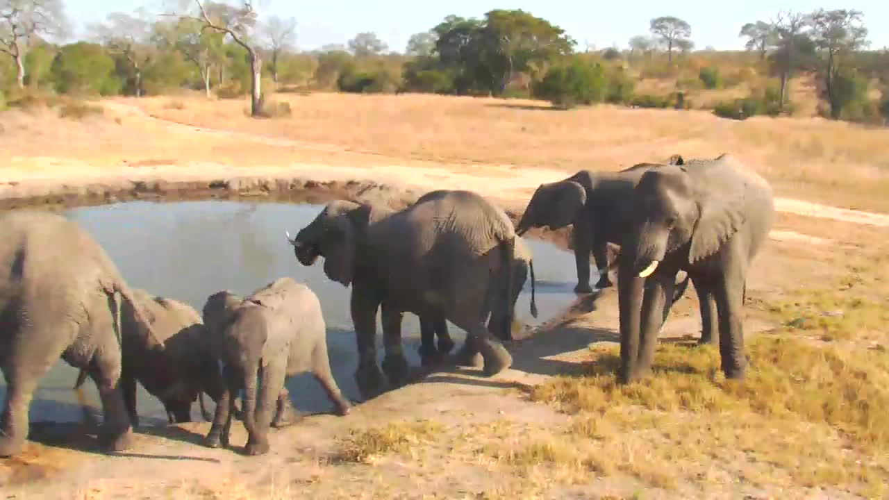 VIDEO:Elephant breeding herd at the waterhole drinking