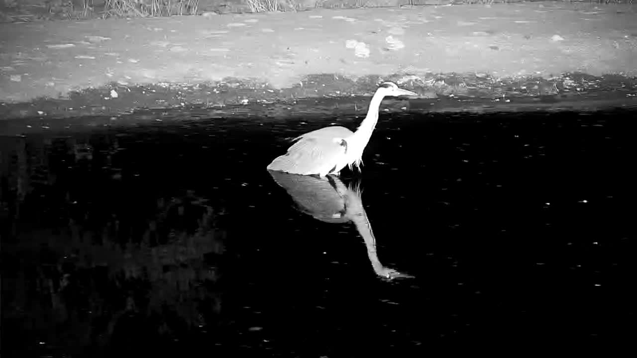 VIDEO: Grey Heron on the hunt