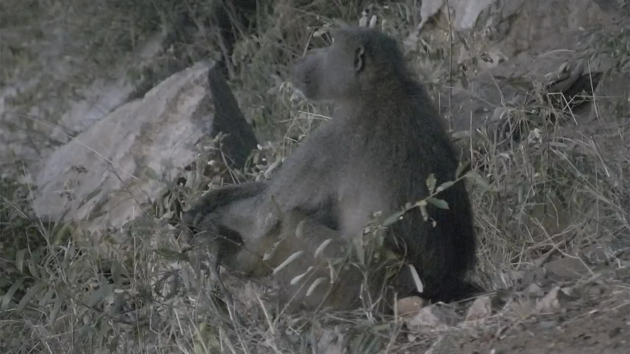 VIDEO: Baboons sit and look around before they go to the sleeping place