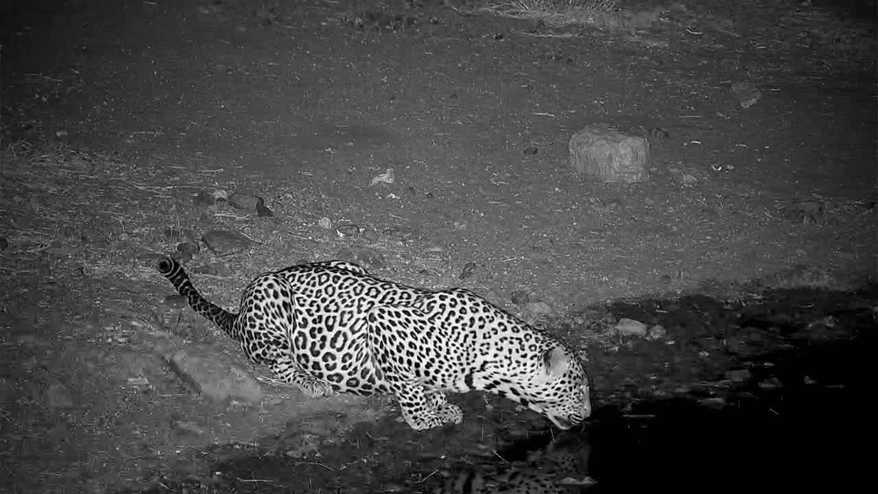 VIDEO: Leopard came for a drink to the waterhole