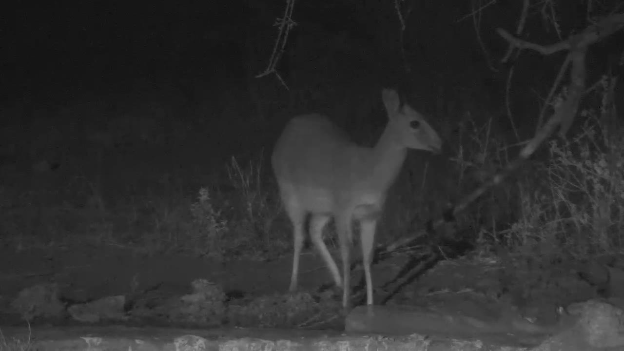 VIDEO:Duiker cam for a short trink to the waterhole