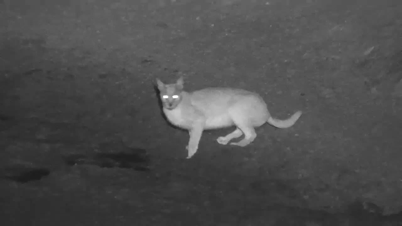 VIDEO: Caracal at the waterhole