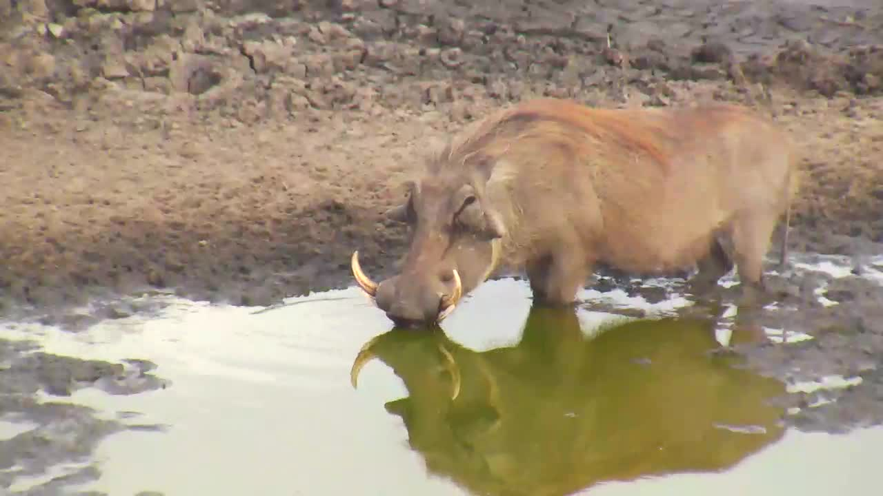 VIDEO: Warthog came for a drink