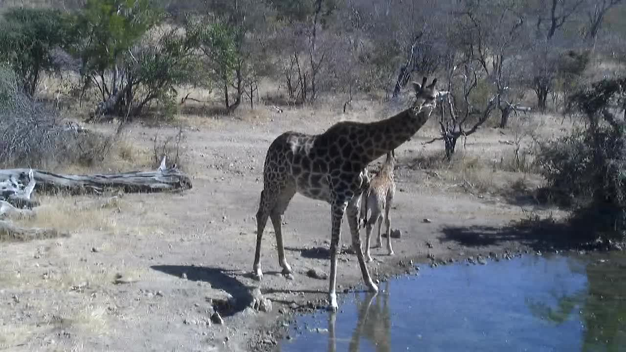 VIDEO: Giraffes with a very  young one at the waterhole