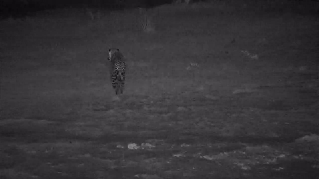 VIDEO:  Leopard passing through