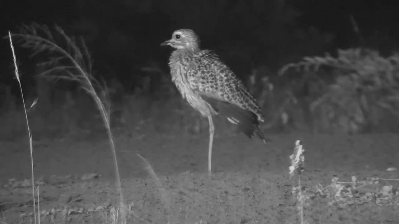 VIDEO:  SPOTTED DIKKOP preening its feathers