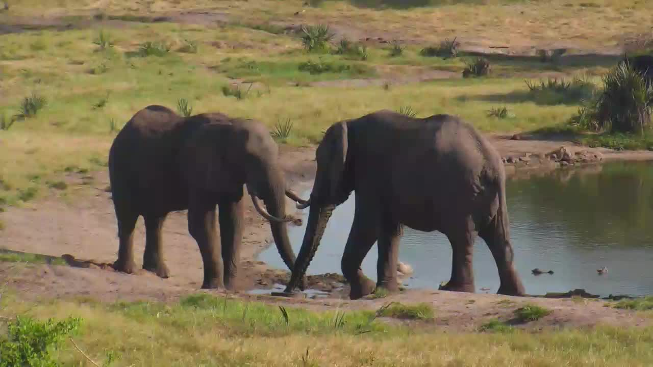 VIDEO: Two  ELEPHANTS greeting eating and sharing a drink