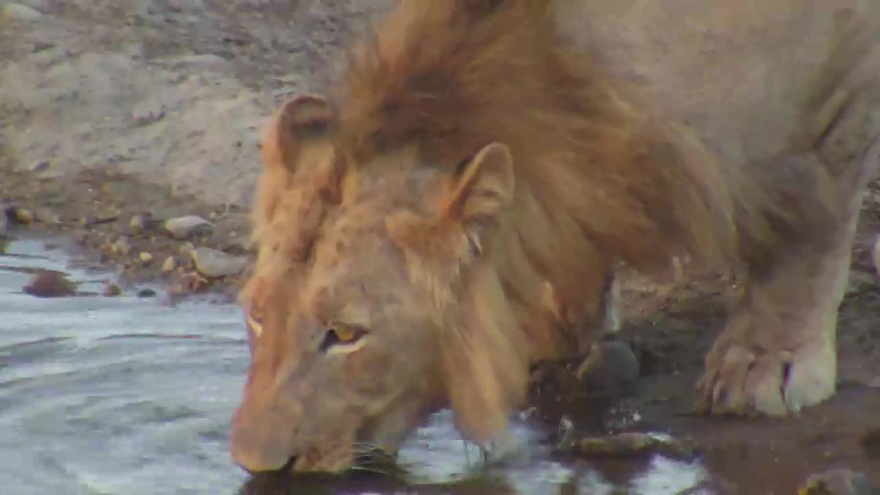 VIDEO:  Thirsty LION with full belly   Part 1 of 2