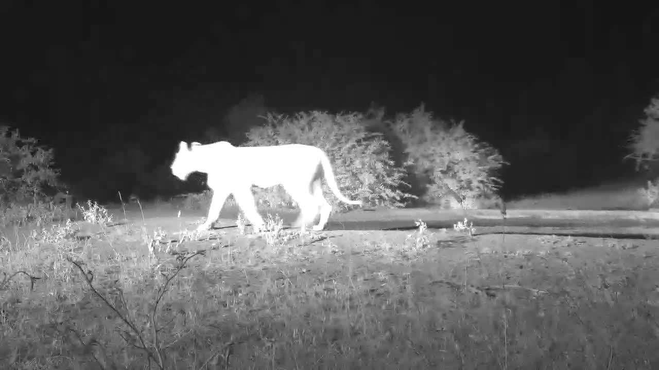 VIDEO:  LION not stopping to drink