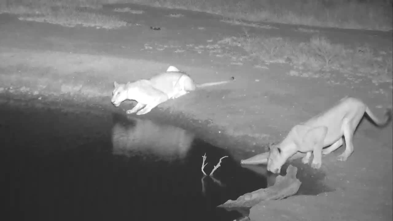 VIDEO:  Lionesses arriving at Nkorho Pan