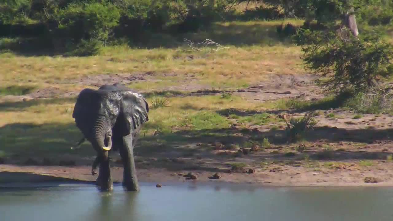 VIDEO:  Elephant drinking and bathing