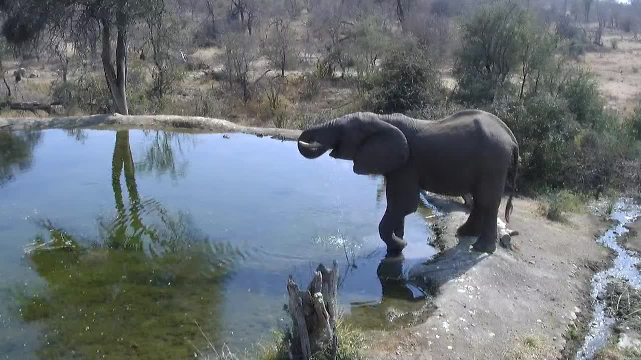 VIDEO:  Elephant having a drink