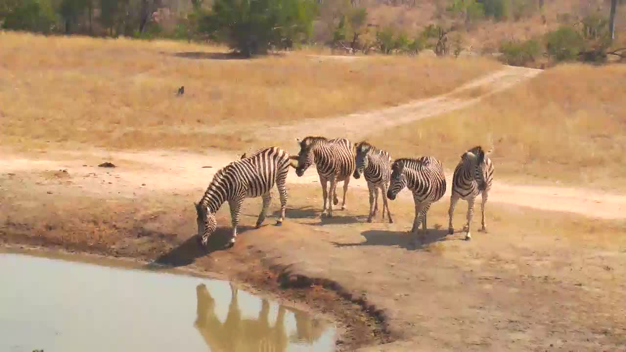 VIDEO:  Zebra very nervous to have a drink