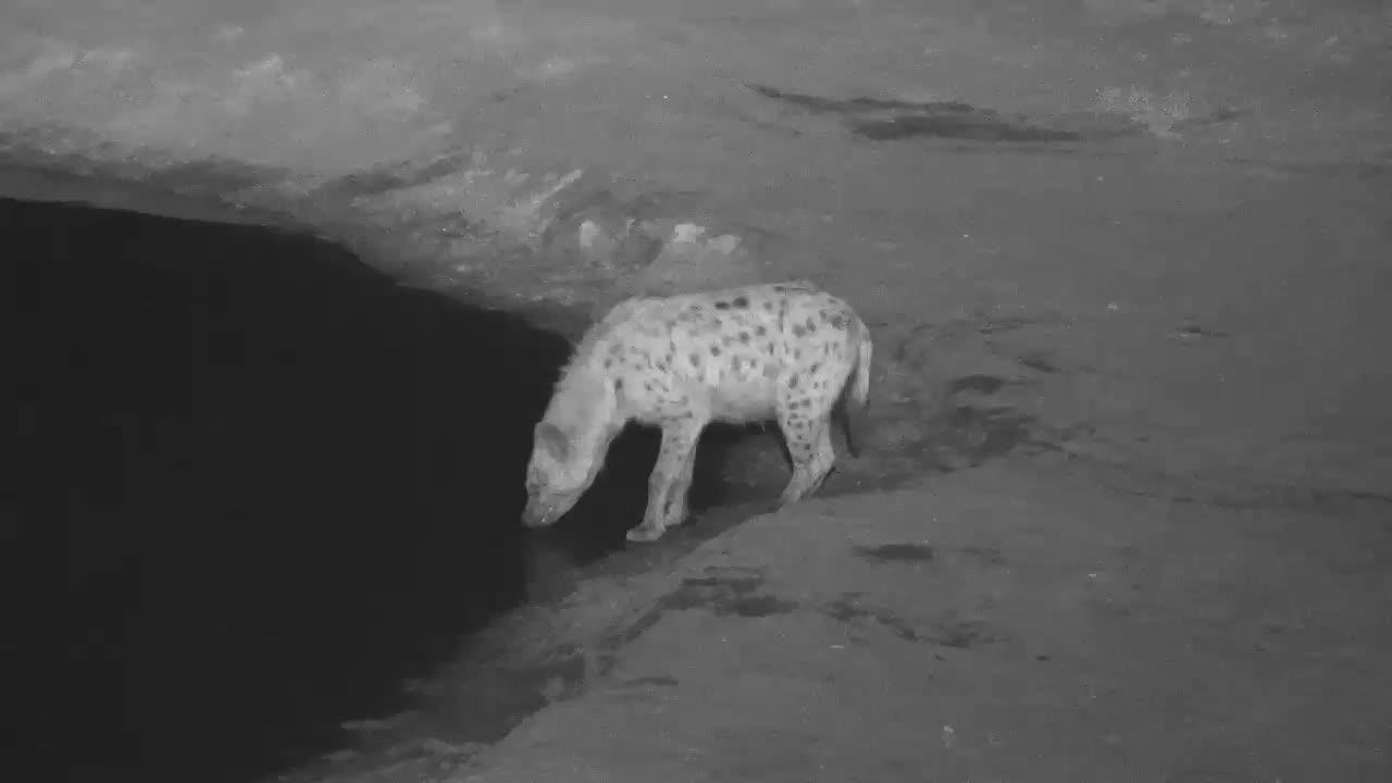 VIDEO:  Hyaena back for more water