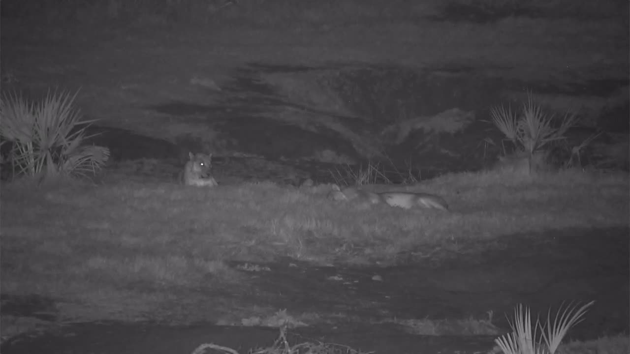 VIDEO: 2 Lions:  Male sleeping while the female looks around