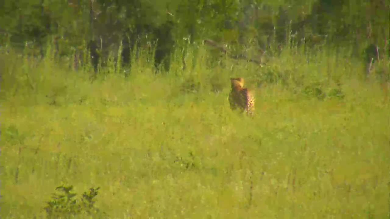 VIDEO:  Cheetah passing by