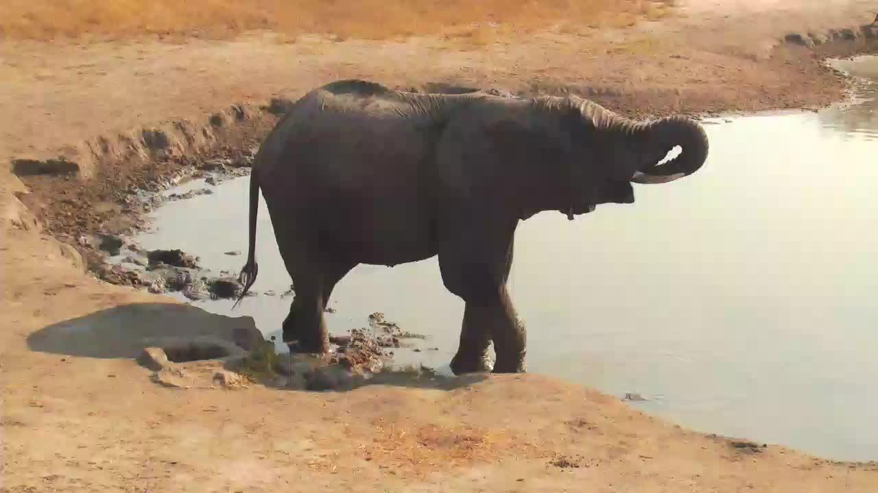 VIDEO:  Lonesome Elephant having a drink