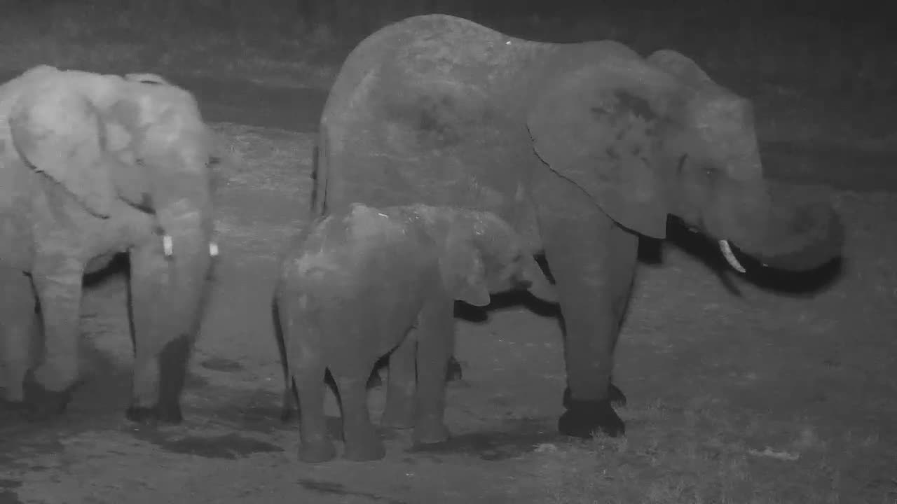 VIDEO:  Baby Elephant suckling