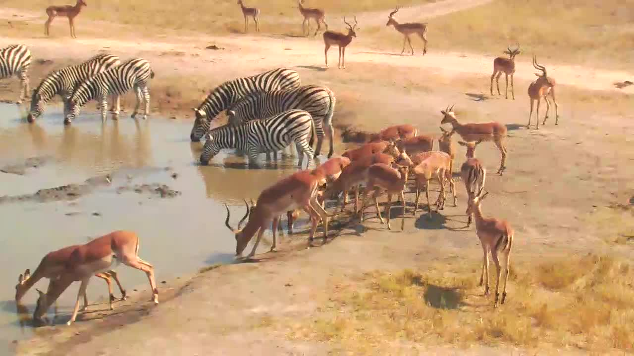VIDEO: Zebras and Impalas came for a long drink to the waterhole