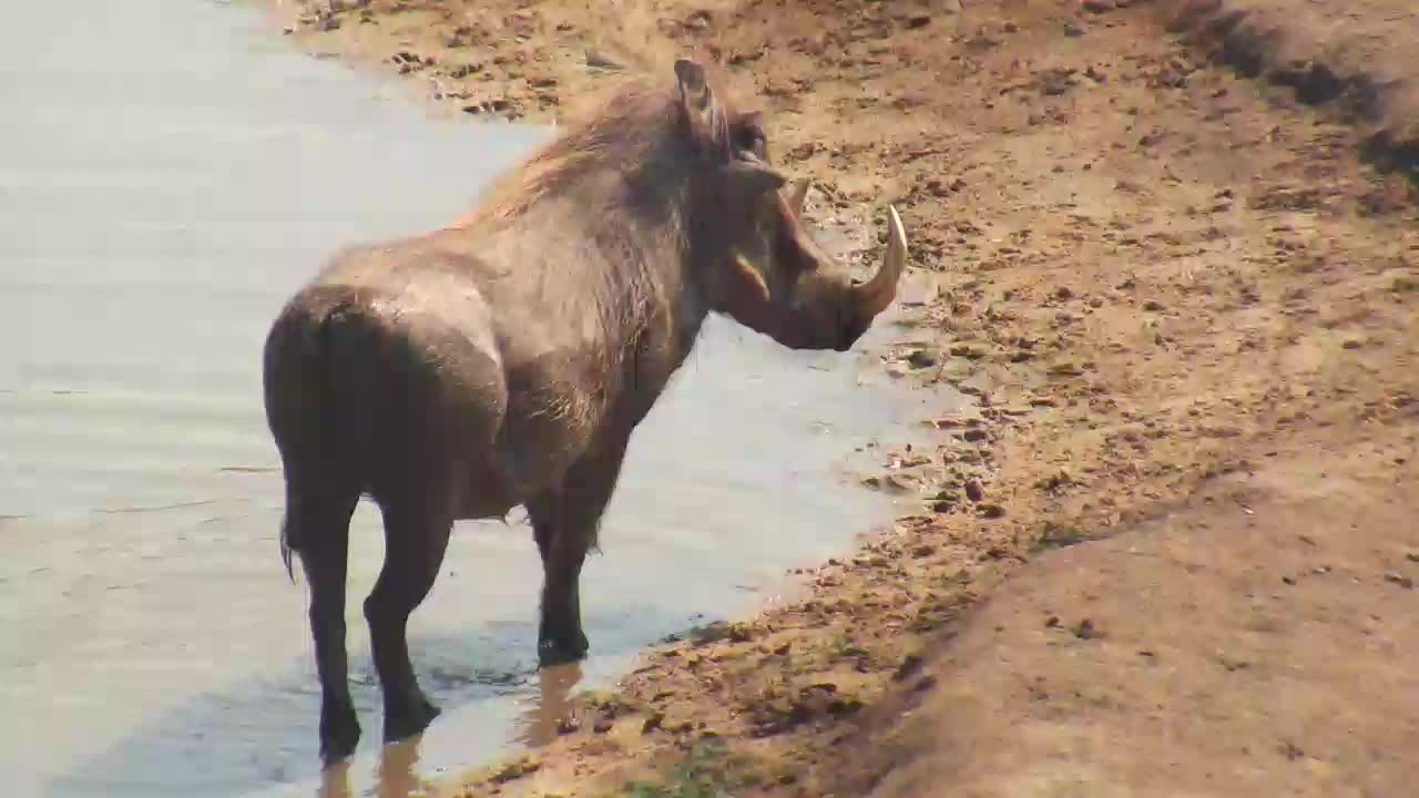 VIDEO: Warthog enjoys the water - bathing and cooling off the legs