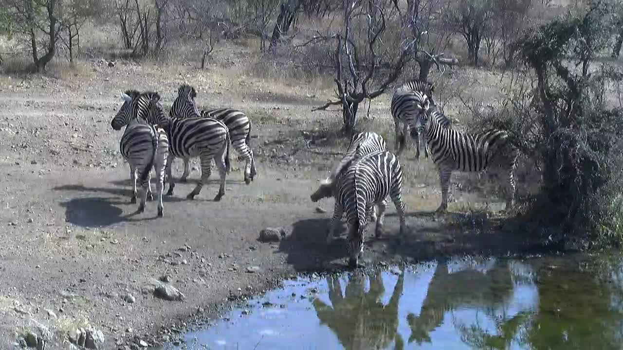 VIDEO:Zebra interaction at the waterhole