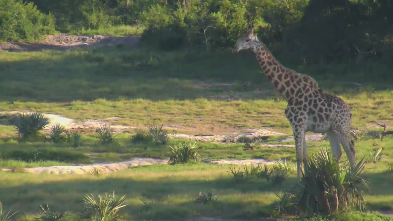 VIDEO: Giraffe chewing cud