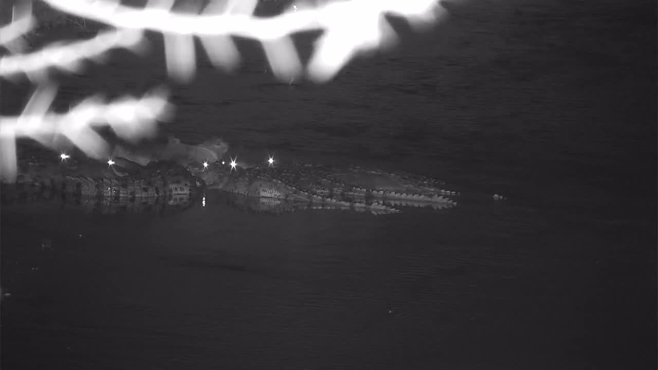 VIDEO: 7or 8 Crocodiles feeding on the Waterbuck carcass