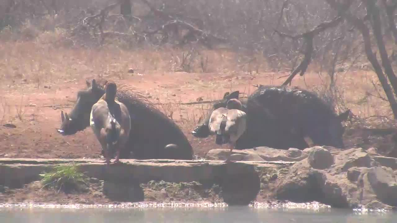 VIDEO:  Warthog family having a mud bath with Egyptian Geese looking on
