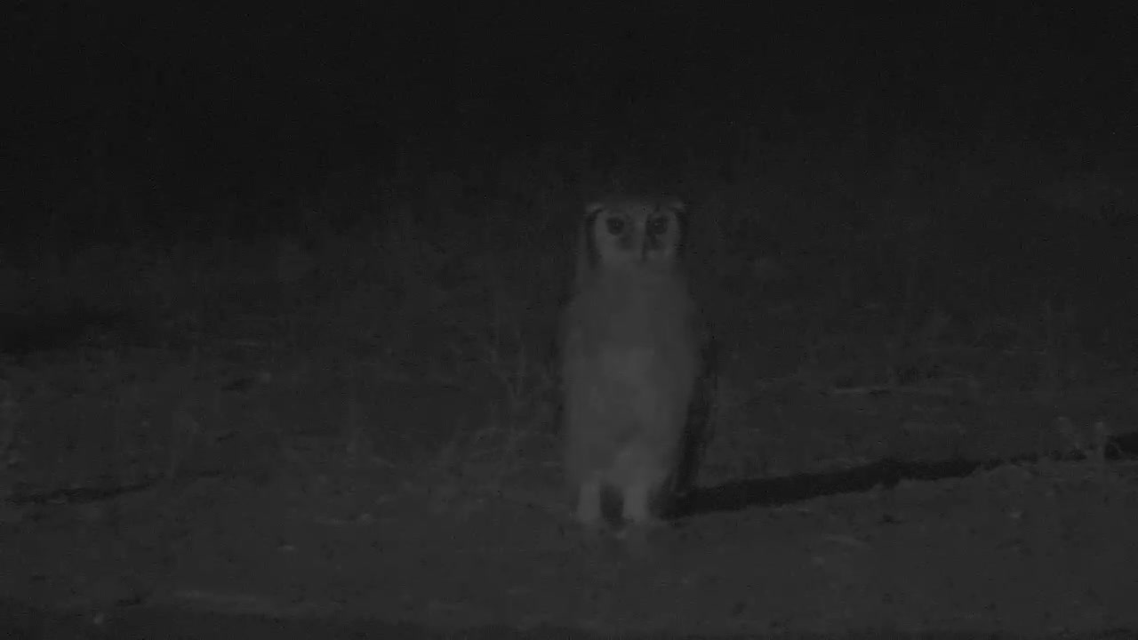 """VIDEO:  Giant Eagle Owl standing """"guard"""" over the waterhole"""
