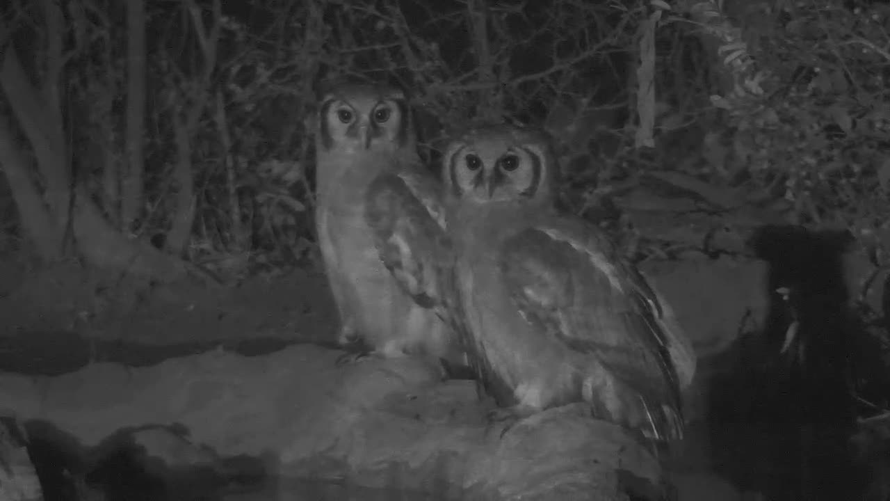 VIDEO:  2 Giant Eagle Owls looking around....the frogs are silent