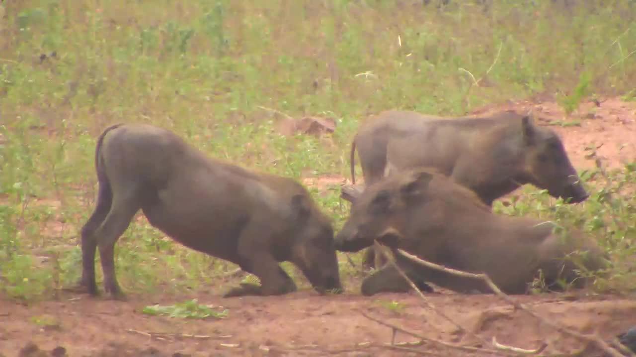 VIDEO:  Warthog Piglets at CE