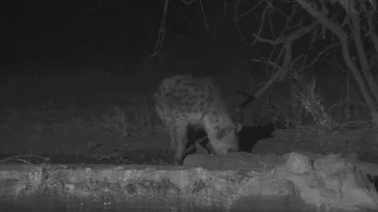 VIDEO:  Hyaena having a drink and off......