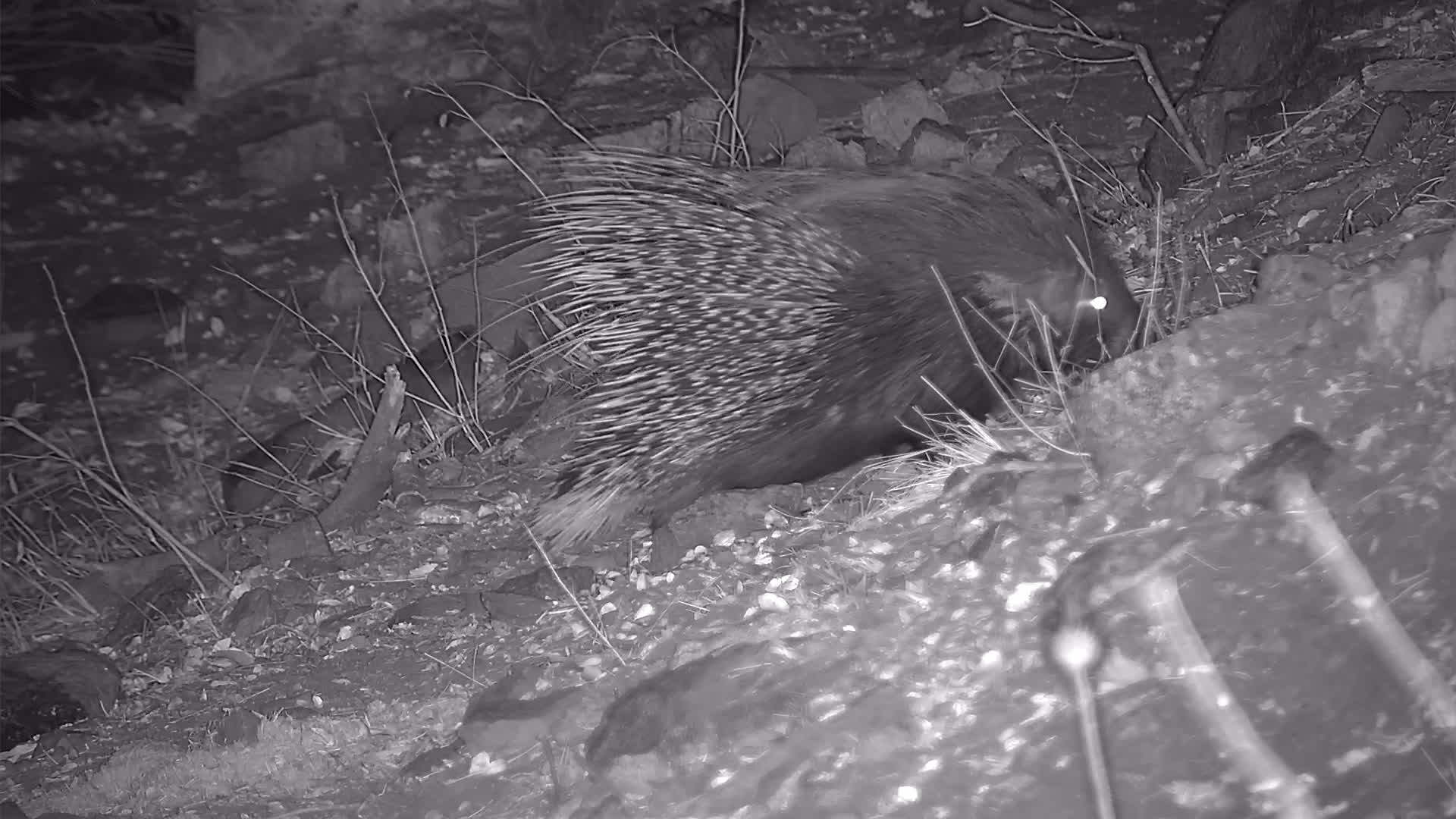 VIDEO:  Porcupine Foraging in the Veld