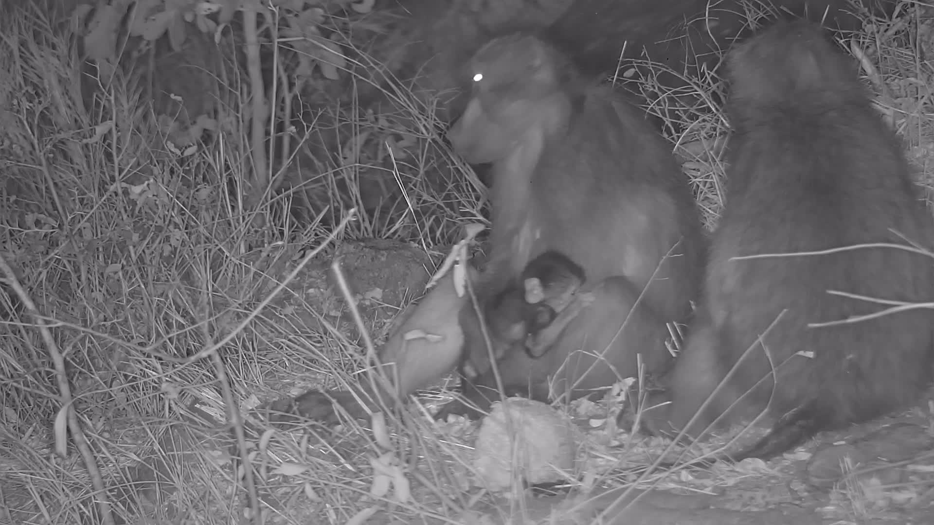 VIDEO: Baboon, little baby is using Mom as a playground