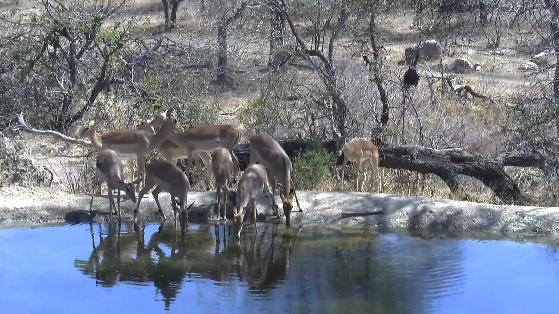 VIDEO: Giraffe  and Impalas  at the  waterhole
