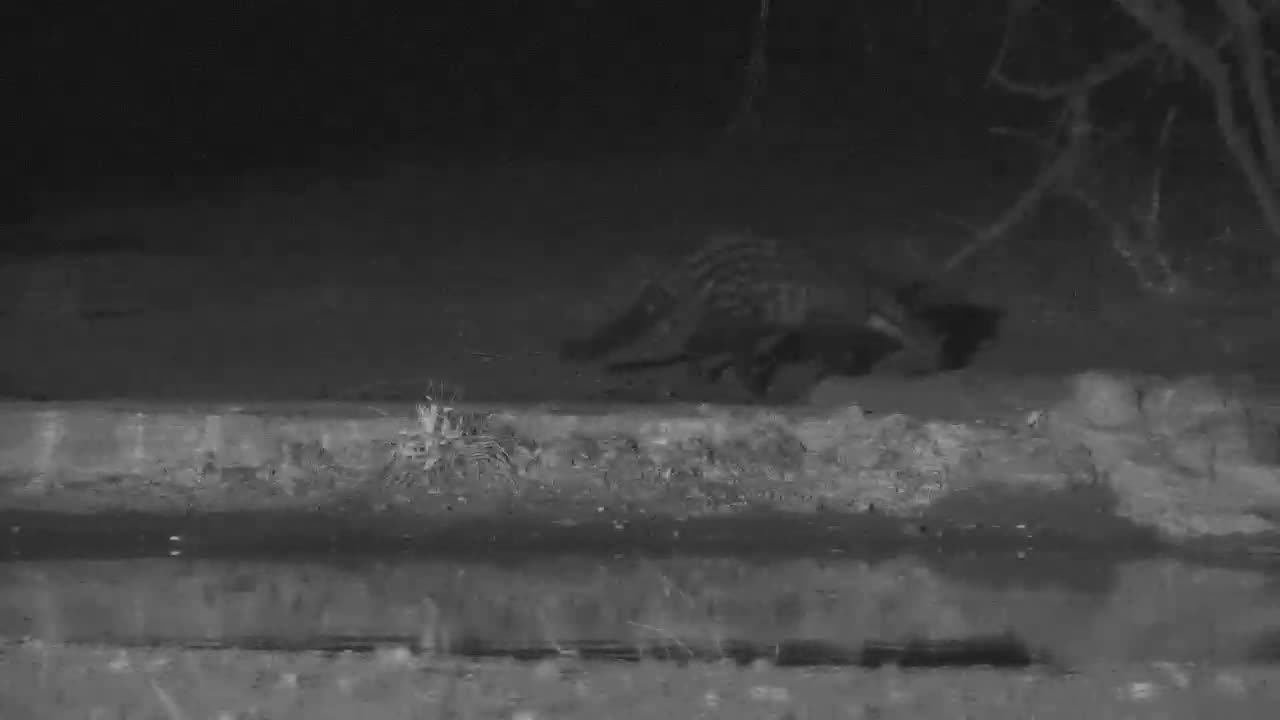 VIDEO:  Civet stopped by for a drink