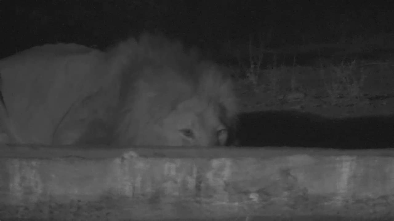 VIDEO:  Male Lion drinking:  Listen at the end of the vid- Lion is out of sight - ROARS
